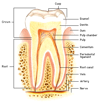 Parts of the Tooth - Dental Health Today